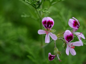 Pelargonium: Pelargonium in narrow depth of field