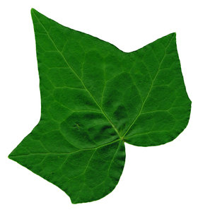 Ivy Leaf 2: An isolated ivy leaf