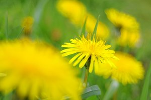 Dandelions: Yellow Dandelions and green grass