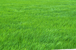 wind flowing green rice leaves: wind flowing green rice leaves.