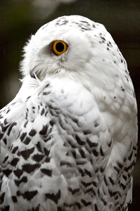 Snowy Owl at Night: Snowy Owl at Night