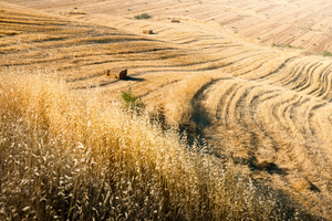 Harvested Fields with Straw Ba