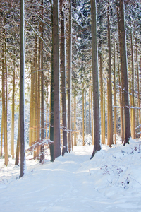 Tall Spruce Trees in snowy For
