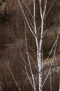 Birch Tree: Close Up of a Birch Tree