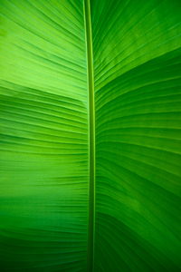 Banana Leaf: Banana Leaf underneath, Light shining through