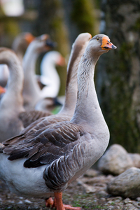 Geese: Group of Gees, one looking towards Viewer
