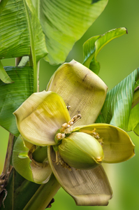 Banana Flower: Banana Flower, just opening