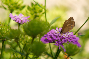 Ringlet Butterfly: Ringlet sitting on Iberis- Flower
