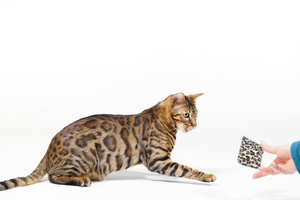 Bengal Cat playing with small