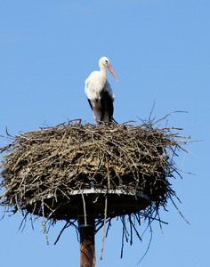 Stork on its nest