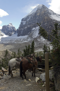 Mountain horses: Pack-horses used to carry supplies up a mountain trail in the Rockies, Canada.