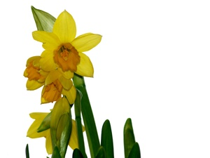 Easter daffodils isolated