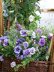 Violet power: a group of violet bed flowers in wicker basket