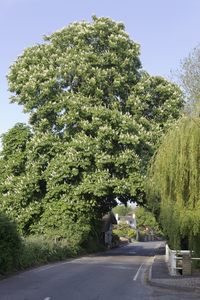 Village tree: A horse-chestnut (Hippocastanea) tree in a village in England.