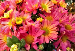 colourful chrysanthemums1