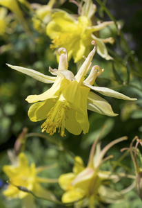 Aquilegia flowers: A long-spurred cultivar of columbine (Aquilegia) in a garden in England.