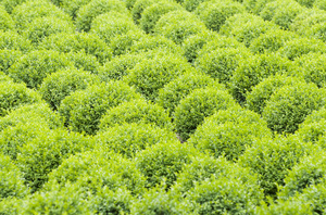 Green buxus texture: rows of buxus plants