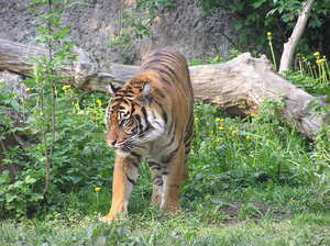 Tiger: A tiger in Warsaw's zoo.