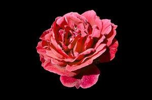 rose-black background