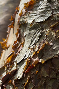 Flaking bark: Flaking bark of a cultivated Acer tree.