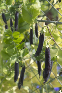 Black bean pods