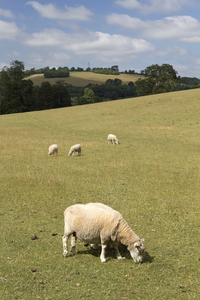 Grazing sheep: Sheep grazing on a rural estate in West Sussex, England.