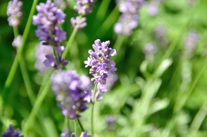 Lavender 1: The nice smell and color of lavender in the garden..