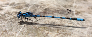 Damselfly: Damselfly sitting on wood