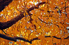 Cherry Tree in Fall Colors