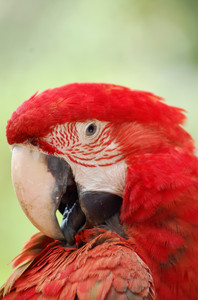 parrot series  2: red Guacamaya