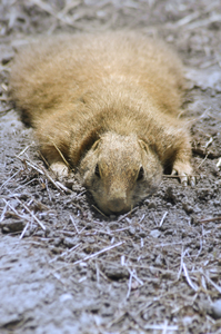 Tired: Prairie dog lies on a ground