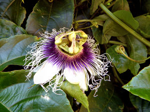passionfruit flower1