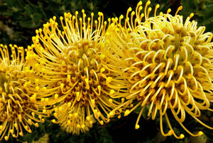 yellow pincushion colour4