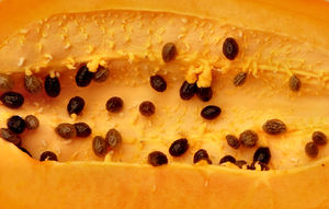 ripe pawpaw4: healthy and nutritious tropical ripe papaya fruit