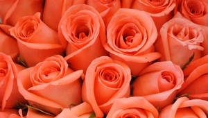 peach color roses: peach color roses