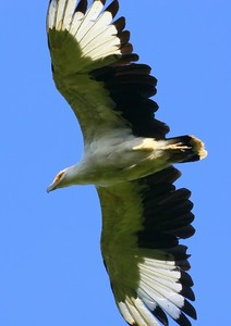 Palmnut Vulture  2: Palmnut Vulture (looks similar to the African Fish Eagle, but smaller) are only found in small area on the Kzn coast of Southarn Africa, and the Okavango Delta in Botswana.