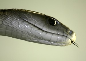 Black Mamba 1: The most dangerous snake in Southern Africa, Fast, big, and very aggressive