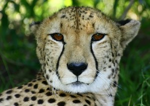 African Cats: Cheetah 5