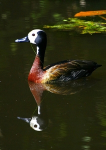 White Faced Whistling Ducks 3