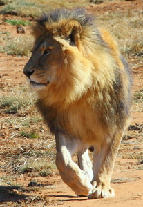 African Lion Males (Cezar)