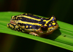 Reed Frog 2