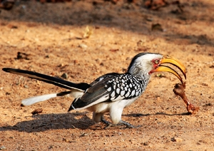 Yellow billed Hornbill 5