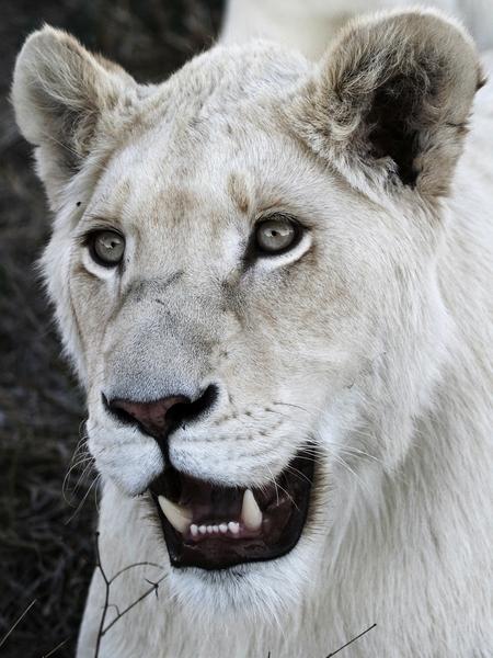 White Lion Close-ups 3