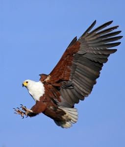 Fish Eagle  4: Various African Fish Eagle landing and in flight images