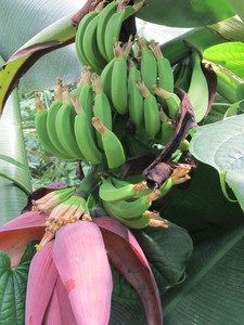 Banana tree: no description