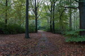 Forest path: A picture of a soft path in a forest with large trees and bushes during autumn