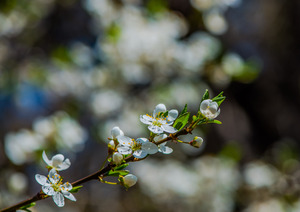 Apple Blossom: Blossoms on an apple tree.