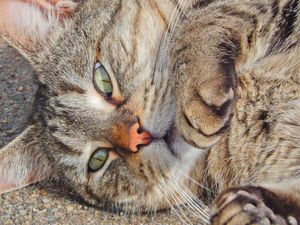 mammal: a close up of a tabby cats face