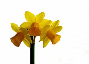 Isolated daffodil