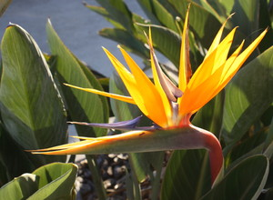 Bird of Paradise- Strelitzia 2